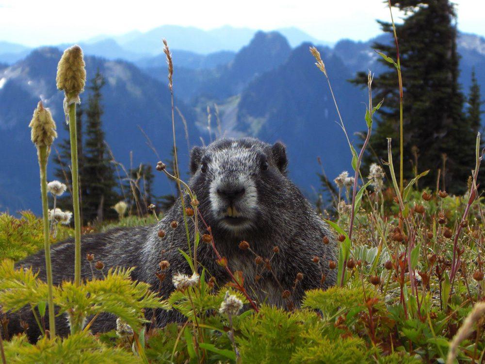 Murmeltier - Alpenmarmot