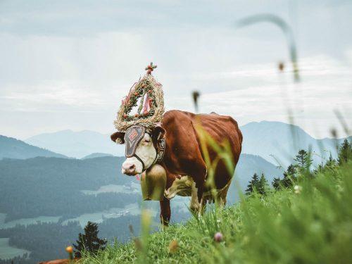 Versierde koe voor de Almabtrieb